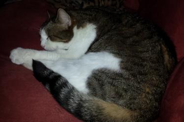 Raidallinen musta-valko-ruskea kissa nukkuu kerälle käpertyneenä.