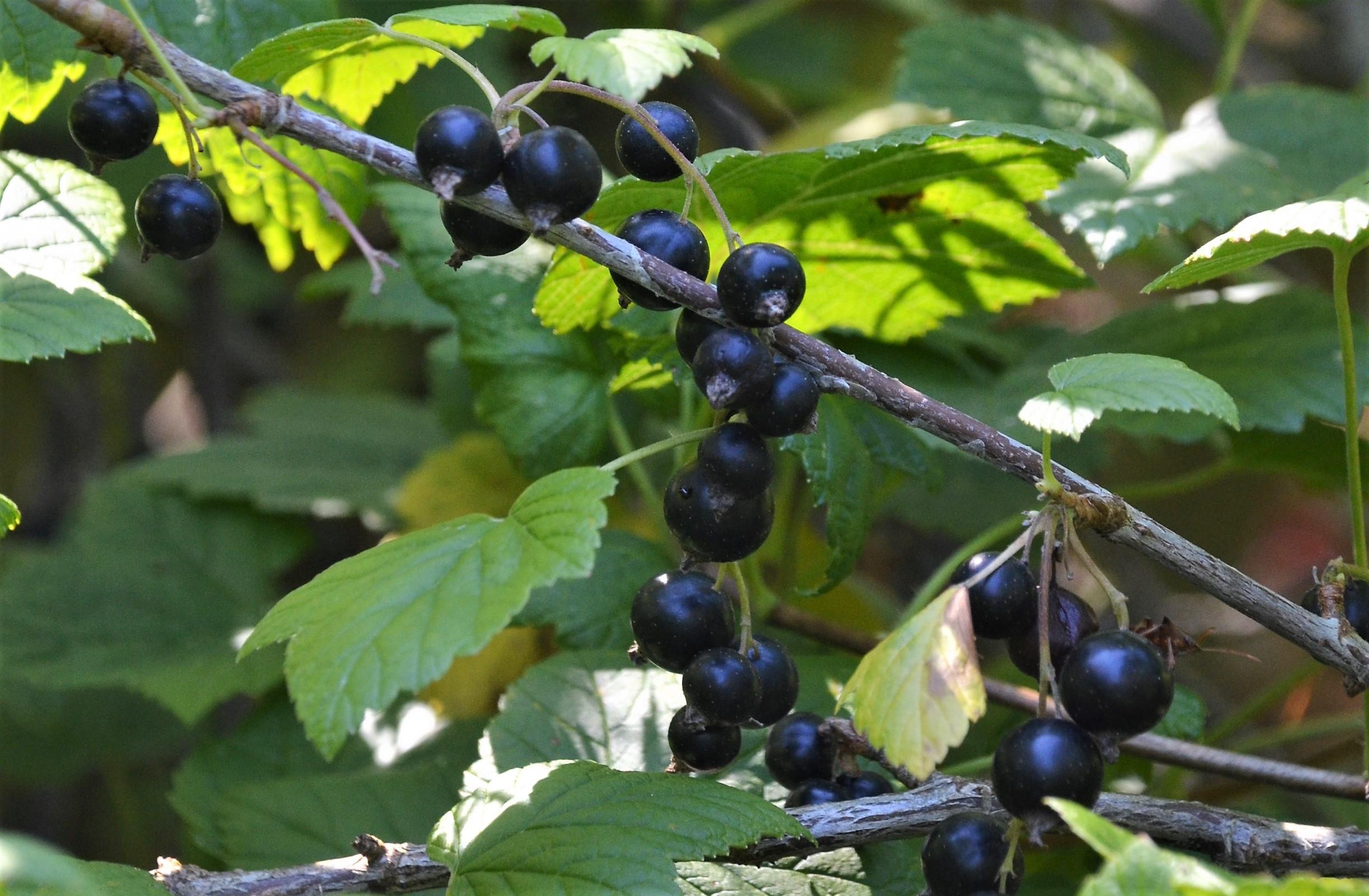 Mustia viinimarjoja pensaassa.